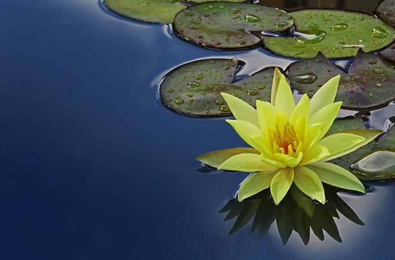 הלוטוס ידוע בניקיונו הקבוע על אף שהוא גדל בביצה, בזכות המבנה הפיזיקלי של העלים שלו. בהשראתו פותחו חומרים המתנקים מעצמם כגון בדים, צבעים לקירות וחלונות שלא צריך לשטוף